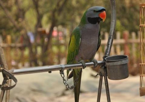 大绯胸鹦鹉的饲养与管理